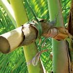 kokospalmsuiker